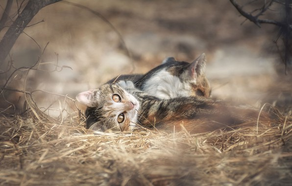 Picture cat, hay, kitty, bokeh