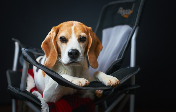 Picture look, face, background, dog, chair, Beagle