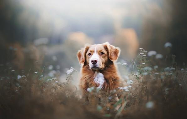Picture look, face, flowers, dog, meadow, bokeh, Retriever