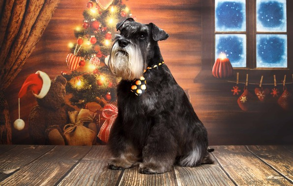 Picture dog, tree, The miniature Schnauzer, Natalia Lays, New