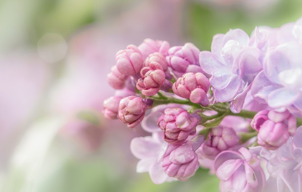 Picture macro, flowers, background, spring, pink, buds, gently, lilac, inflorescence