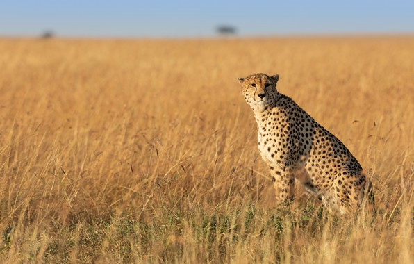 Picture field, the sky, grass, Cheetah, sitting