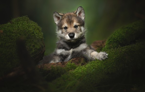 Picture look, moss, portrait, puppy, The tamaskan dog