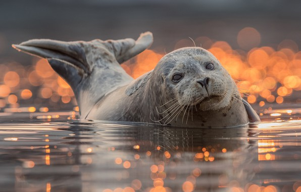 Picture look, water, background, seal, bathing, tail, face, pond, bokeh, pinnipeds