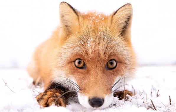 Picture winter, face, snow, Fox, Fox