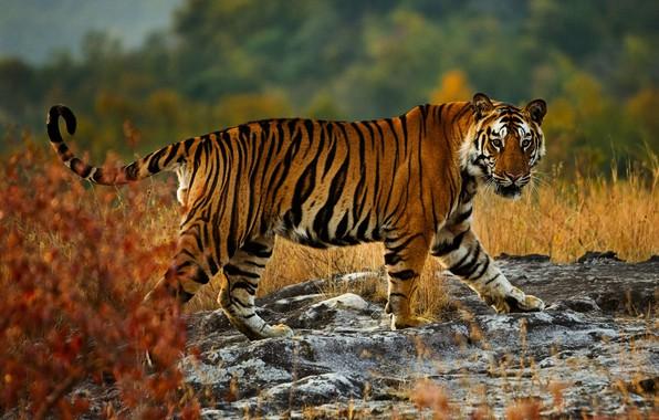 Picture autumn, look, nature, tiger, pose, stones, background, walk, wild cat