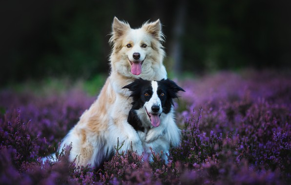 Picture forest, language, dogs, flowers, nature, pose, background, glade, two, friendship, pair, a couple, Duo, friends, …