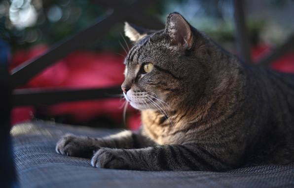Picture cat, portrait, Kote, cat