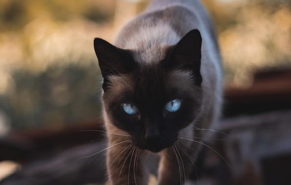 Picture animals, cat, blue eyes, cats, look, pet, glance, siamese