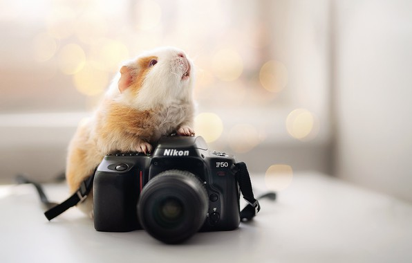 Picture background, the camera, Nikon, Guinea pig, rodent