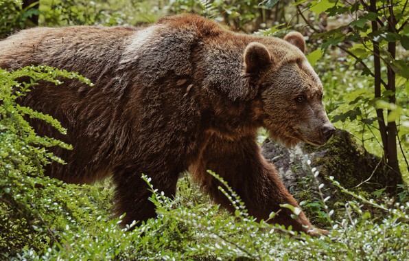 Picture forest, summer, look, face, leaves, branches, nature, pose, foliage, bear, bear, walk, brown