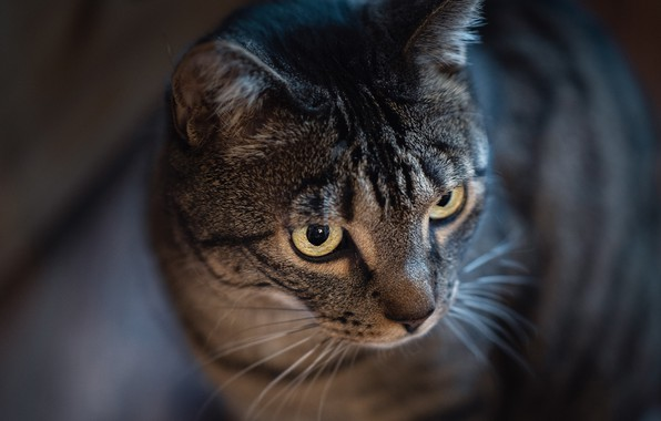 Picture cat, cat, muzzle, bokeh, cat