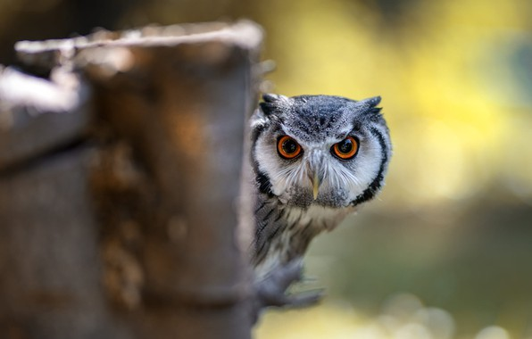 Picture eyes, look, yellow, nature, background, owl, bird, the fence, portrait, blur, post, face, bokeh, Peeps, …