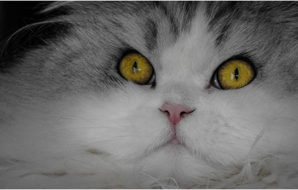 Picture cat, cat, look, muzzle, spout, eyes, cat