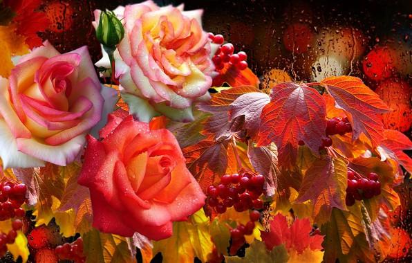 Picture drops, rain, lights, Roses, Kalina