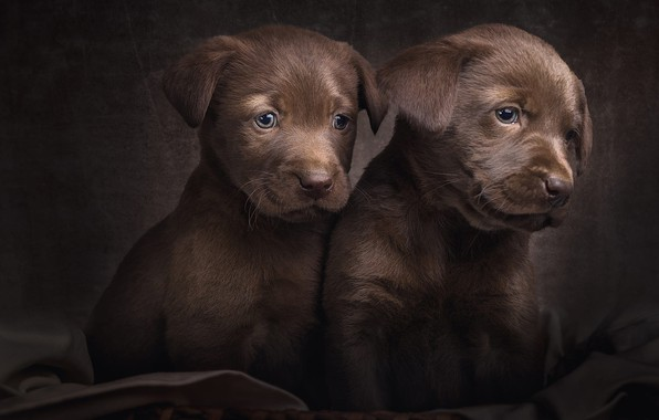 Picture dogs, look, pose, the dark background, portrait, eyes, puppies, pair, puppy, fabric, kids, a couple, …