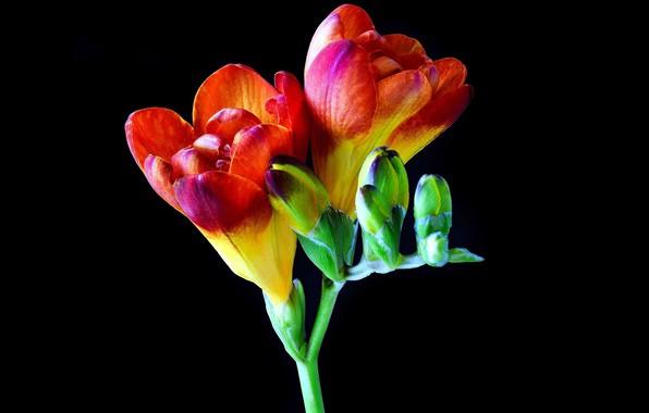 Picture macro, flowers, Freesia