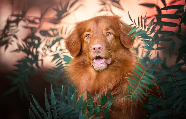 Picture language, look, face, leaves, nature, background, portrait, dog, mouth, red, bokeh