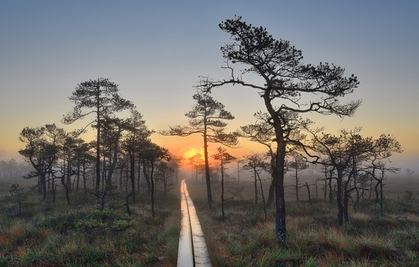 Picture grass, trees, landscape, nature, fog, Rosa, dawn, swamp, morning, track, pine, bumps