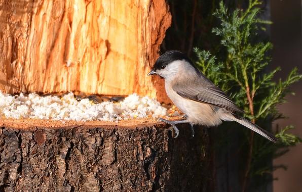 Picture bird, feeder, photohunt, tit gadget