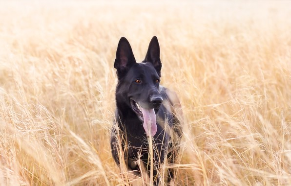 Picture language, the steppe, each, dog, weed