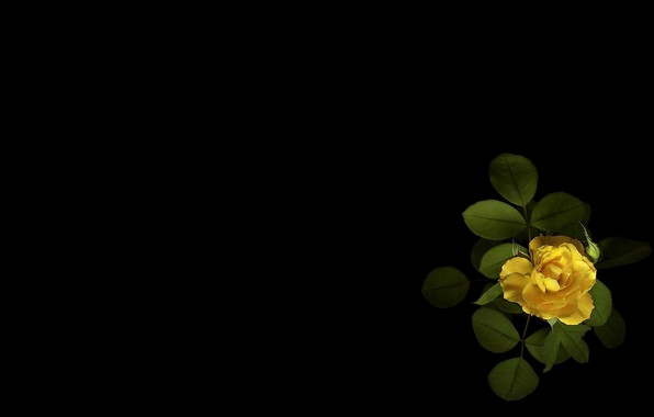 Picture flower, green leaves, minimalism, Bud, black background, tea rose, picture, yellow petals