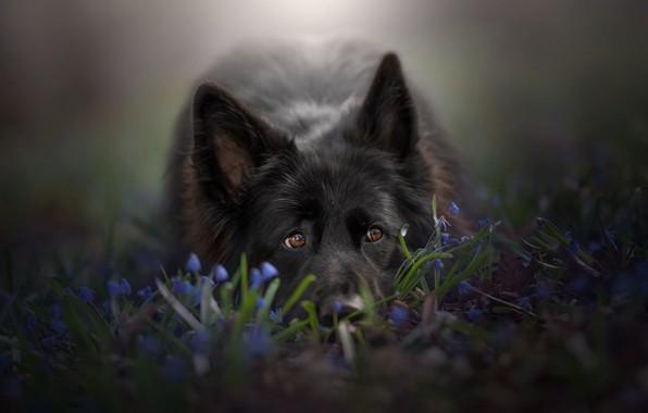 Picture look, face, flowers, dog, ears, German shepherd
