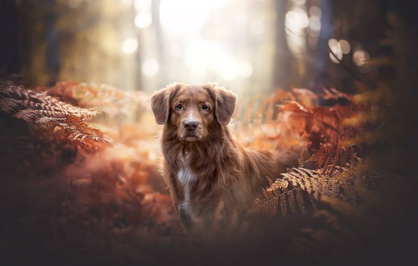 Picture forest, look, dog, fern, bokeh, Nova Scotia duck tolling Retriever, Toller