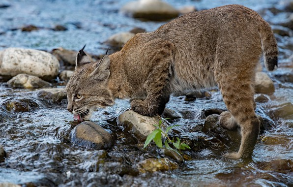 Picture water, river, stones, thirst, lynx, wild cat