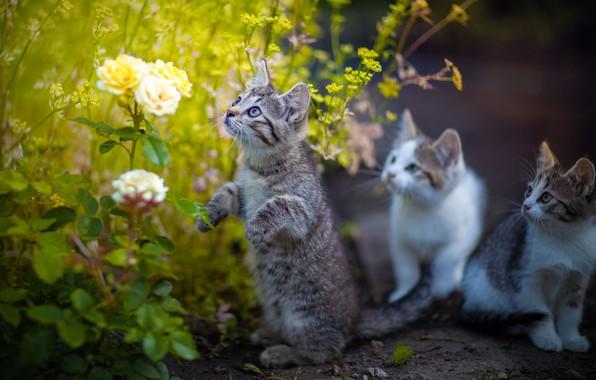 Picture flowers, roses, kittens, stand, Yuriy Korotun