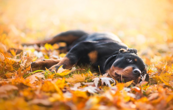 Picture sadness, autumn, look, face, leaves, yellow, nature, pose, background, stay, foliage, dog, paws, yellow, baby, …
