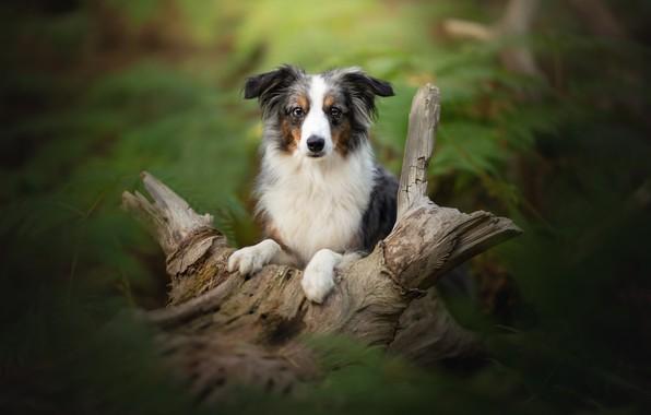 Picture look, dog, blur, snag, Australian shepherd, Aussie