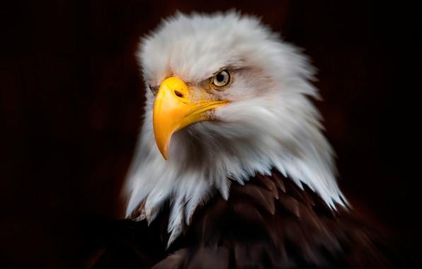 Picture look, the dark background, bird, eagle, portrait, treatment, predator, feathers, bald eagle