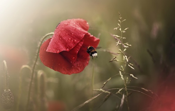 Picture summer, Mac, bumblebee