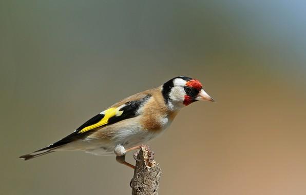 Picture bird, branch, black-headed goldfinch