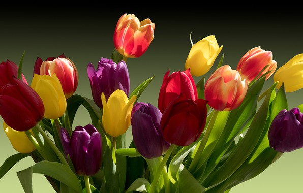Picture light, shadow, spring, tulips