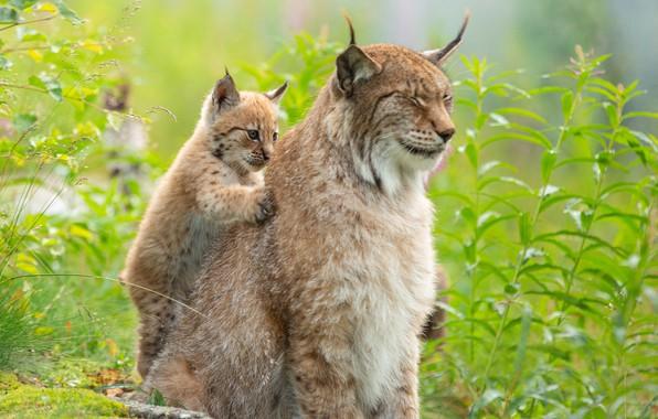 Picture grass, cub, kitty, lynx, wild cat, massage, a small lynx