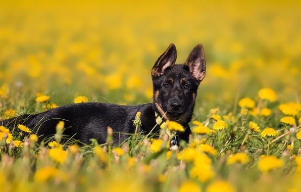 Picture field, flowers, nature, background, glade, dog, spring, yellow, puppy, lies, dandelions, German shepherd, dandelion