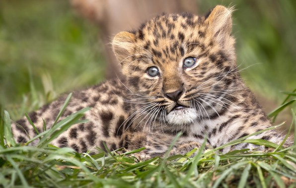 Picture grass, leopard, cub, kitty, face, wild cat