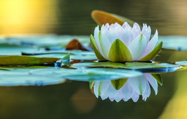 Picture flower, leaves, water, nature, lake, pond, reflection, Lily, white, pond, Nymphaeum, water Lily, mirror
