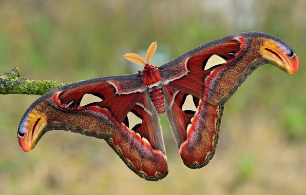Picture macro, nature, background, pattern, butterfly, branch, insect, form, wings, antennae, colorful, Emperor moth, red-brown