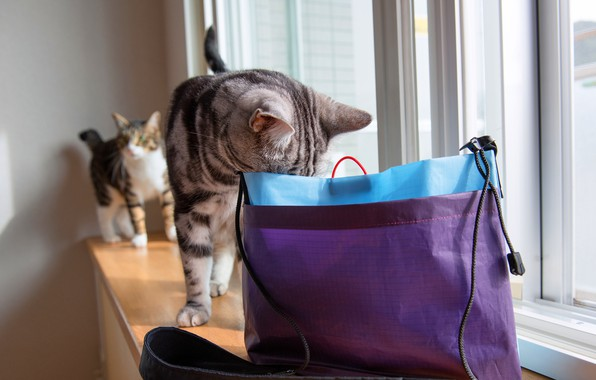 Picture cat, cat, glass, light, cats, grey, room, lilac, cats, two, package, window, pair, sill, bag, …