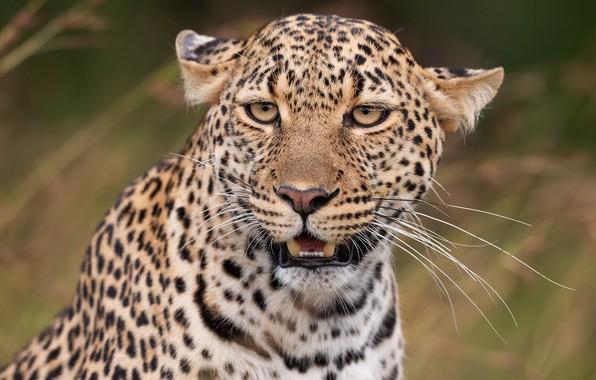 Picture mustache, look, face, portrait, predator, leopard, wild cat