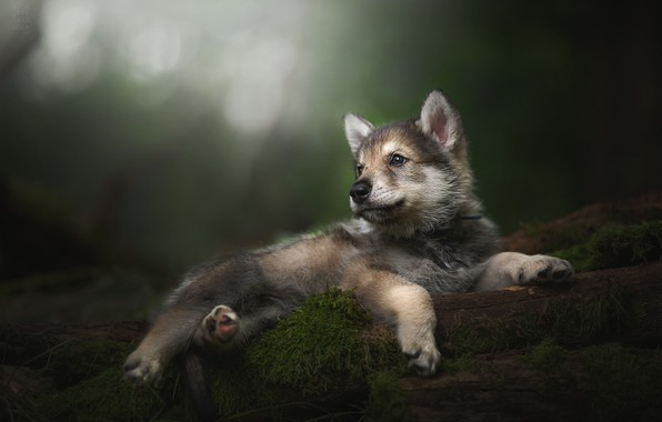 Picture baby, puppy, bokeh, The tamaskan dog