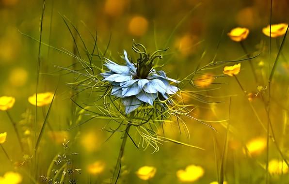 Picture plant, Nigella damask, Ranunculaceae