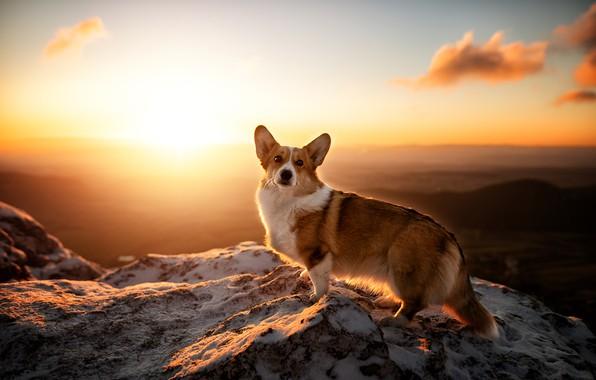 Picture mountains, sunrise, dawn, dog, Welsh Corgi