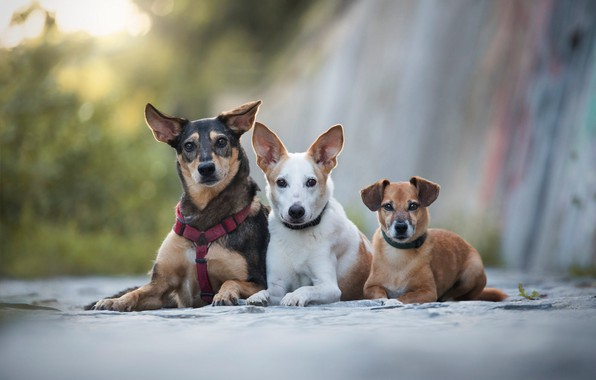 Picture dogs, look, background, puppies, puppy, three, trio, friends, lie, faces, Trinity, Threesome, three dogs