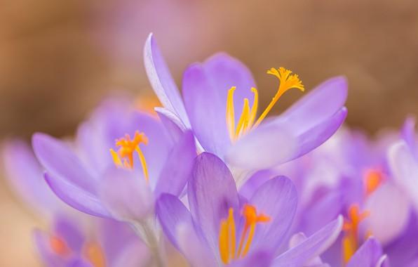 Picture macro, petals, crocuses, bokeh, saffron