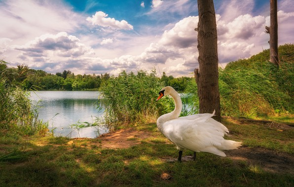 Picture clouds, lake, bird, reed, Swan