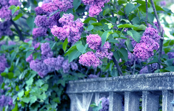 Picture branches, lilac, bunches, bunches